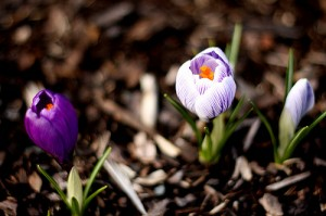 An early spring might bring crocuses in March.