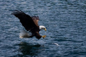 Bald eagles are often seen in Cape Breton.