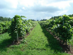 Grapes growing in a Malagash vineyard.
