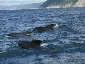 Pilot whales off the coast of Cape Breton