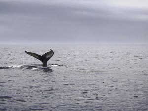 Spotting whales off Nova Scotia.
