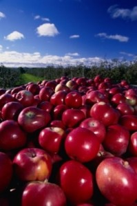 Apples are a major crop in the Annapolis Valley