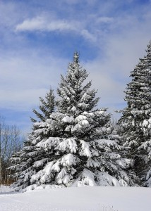 Winter trees laden with snow in the Annapolis Valley.